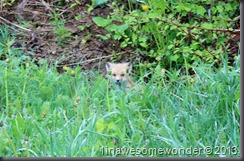 This baby fox caught my attention out by the old farm.