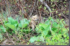 This little fox is easily lost among the burdock leaves.