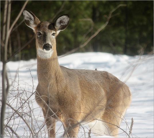 Deer Attention