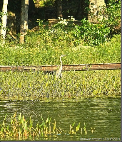 Great Blue and the greens - Abrams Pond 2014