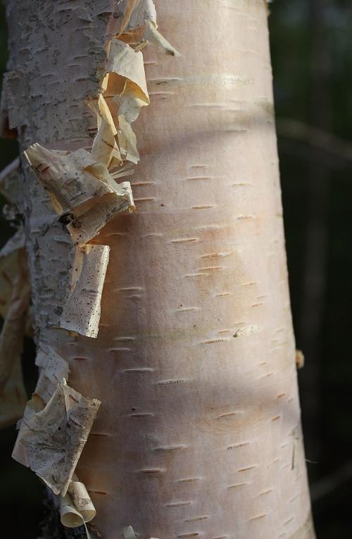 Warmth - Birch Tree