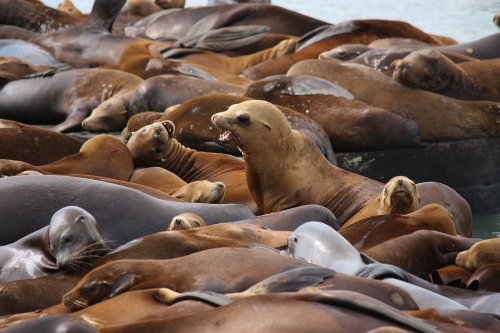 Swarm - Sea Lions at Pier 39