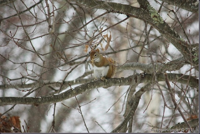 Red Squirrel chomping on a nut before leaving