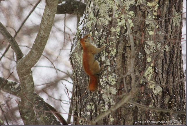 Red Squirrel going up