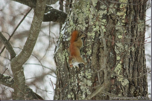 Red Squirrel heading down