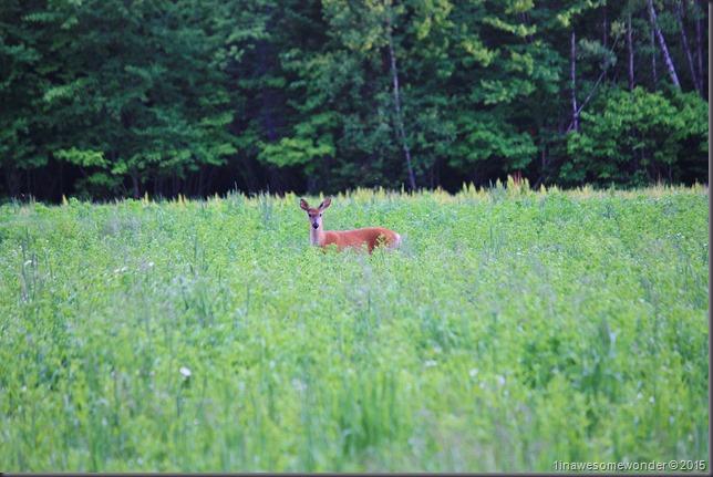NB Deer