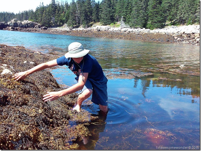 Looking for crabs at Acadia Schoodic Point