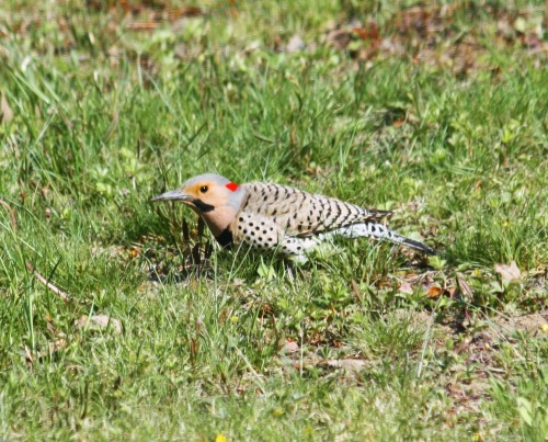 Northern Flicker1