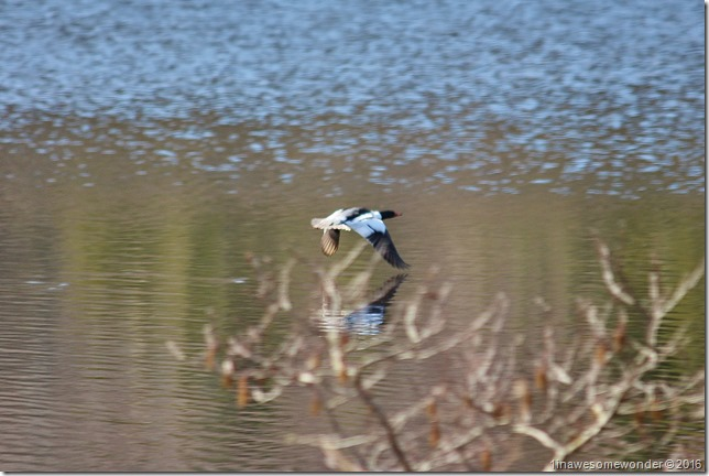 Merganser at Moose Flowage